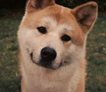 Akita-Inu-Dog-Gesicht-Augen-Grass-Hachiko-1200x1600