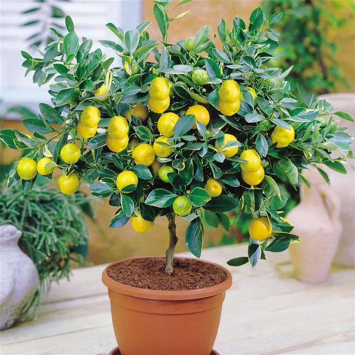 limonnoe-derevo