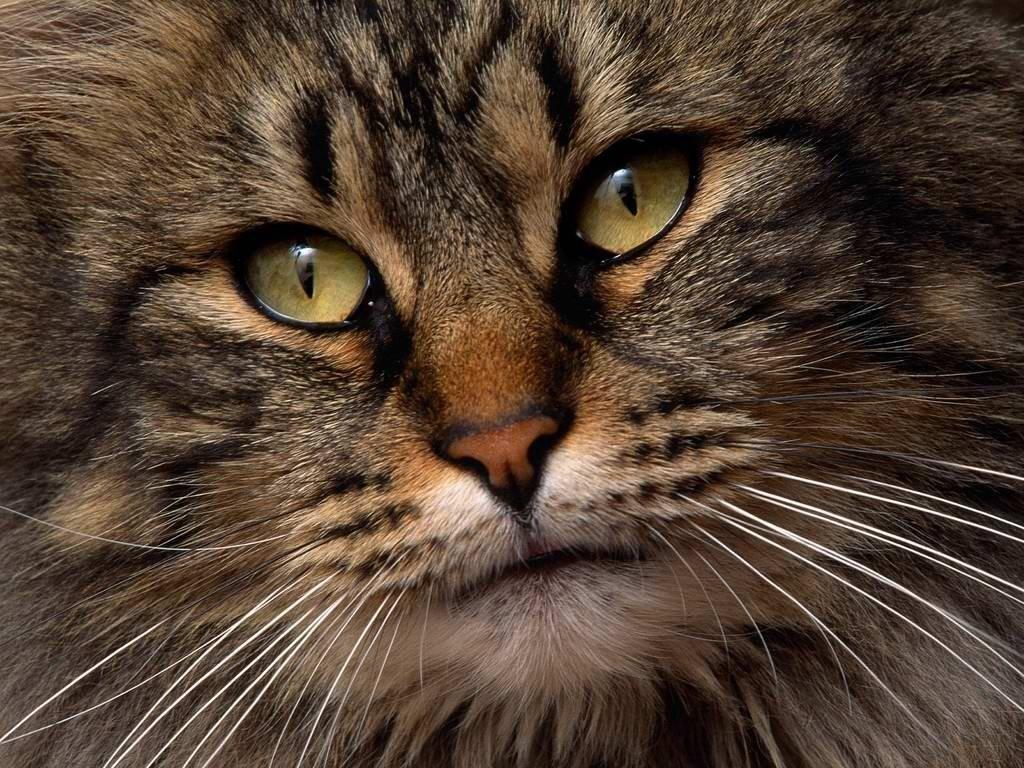 В День Тигра в Петербурге раздадут полосатых котов