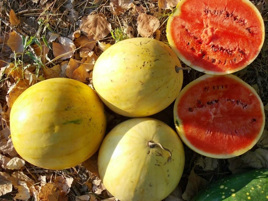 Вкусные сорта арбуза. «Подарок Солнца»