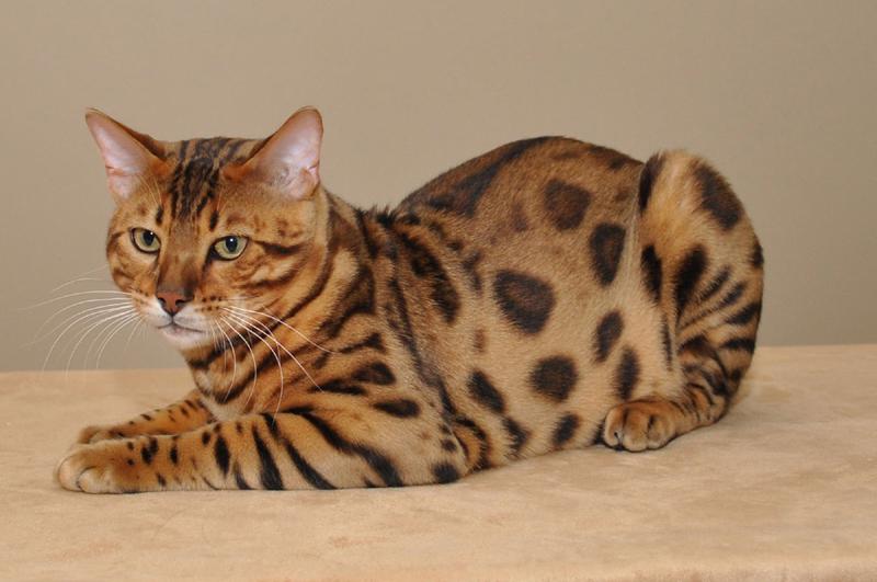 Котята бенгальской породы фото цена