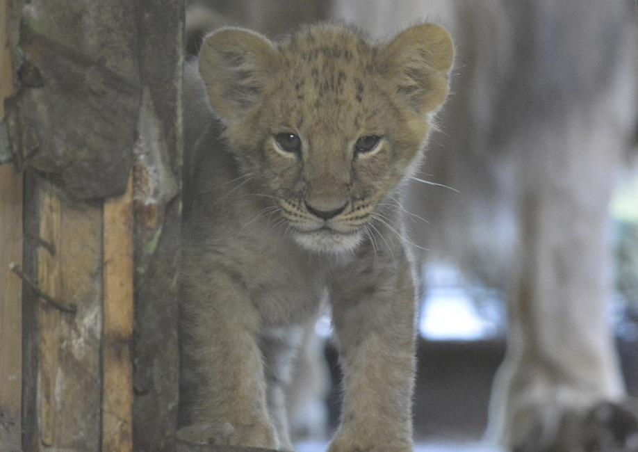 Зоопарк объявил конкурс на лучшие имена для малышей африканских львов