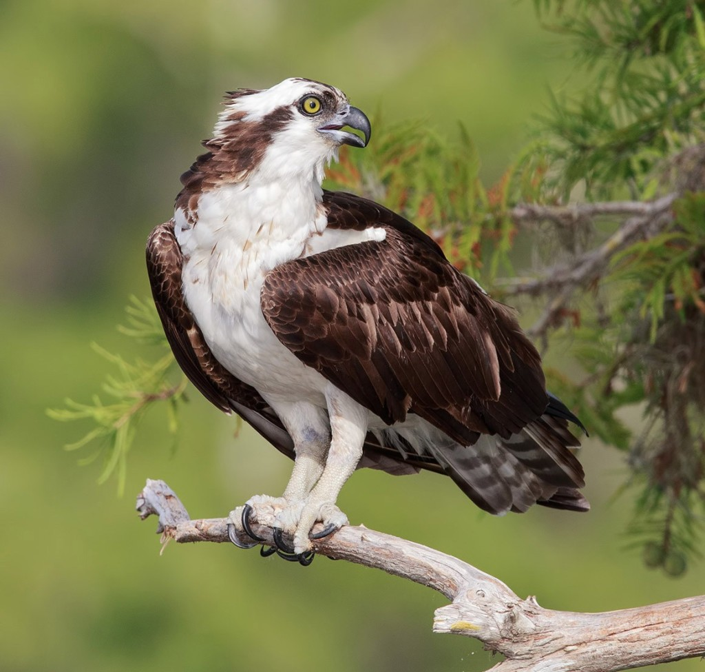 скопа - символ международного дня птиц в 2018 году