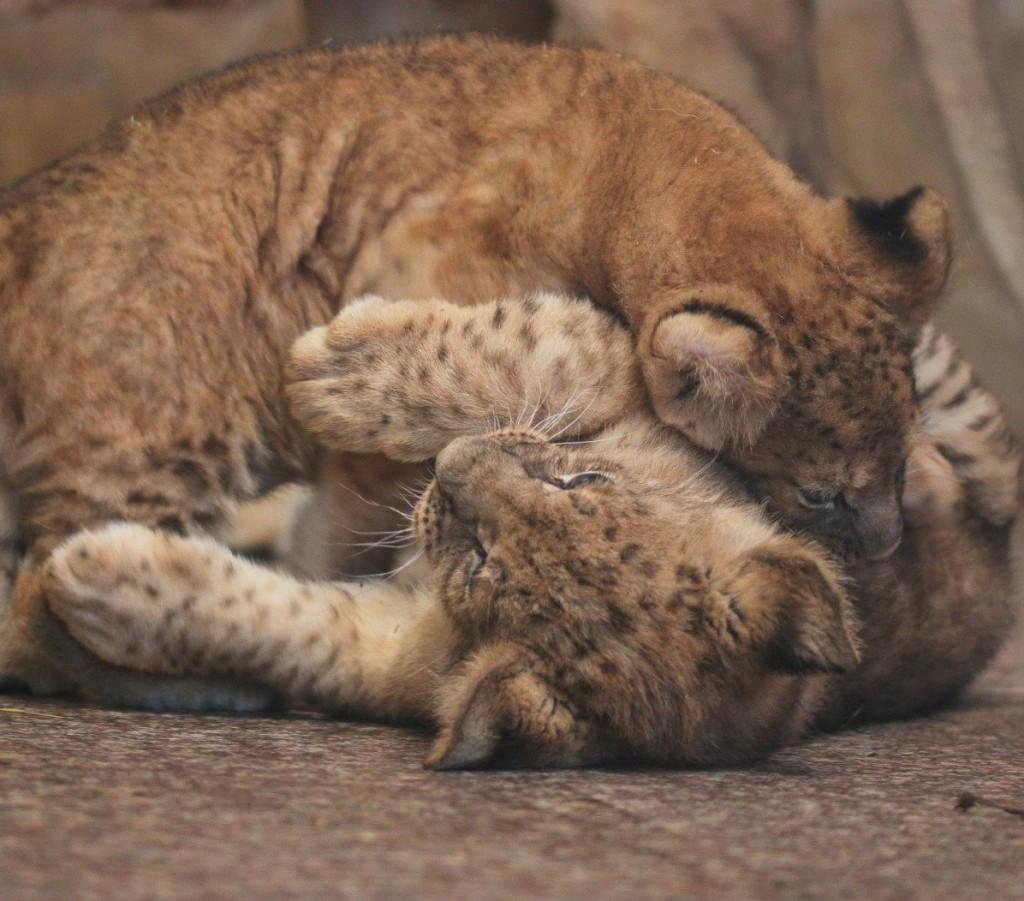Ленинградский зоопарк назвал имена для трех львят, родившихся 10 декабря 2017 года
