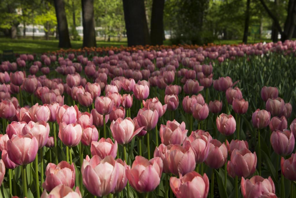 фестиваль тюльпанов на Елагином острове в 2018 году пройдет 19 и 20 мая