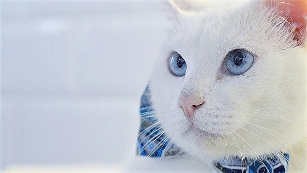 кот Ахилл