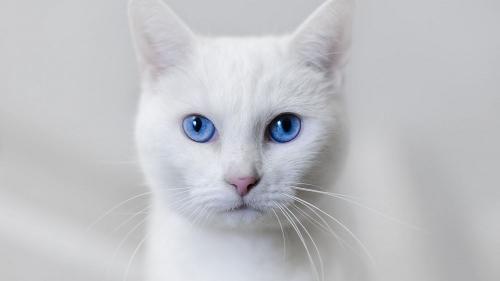 31 января День белых котов