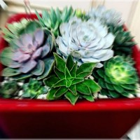 Суккуленты: комнатные растения, за которыми могут ухаживать дети